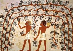 Виноград в Египте